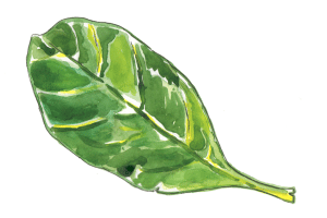 spinach leaf illustration